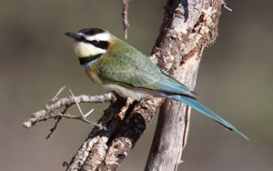 Whitethroated Bee-eater, Shaba National Reserve