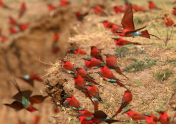 Southern Carmine Bee-eater nesting colony